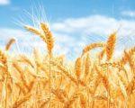 वाग्मतीमा पनि गहुँको बीउ अभाव, किसान समस्यामा