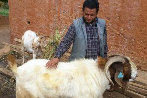 अर्घाखाँचीका किसानले पालेको १ सय ८१ केजीको बोका