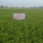 किसानले व्यावसायिक वरसिम घाँसखेतीाबट राम्रो आम्दानी