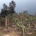 सुन्तलाको बगैँचा मासेर ड्रागन खेती गर्दै तनहुँका किसान