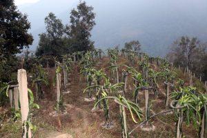 व्यावसायिक ड्रागनखेतीबाट  राम्रो सफलता