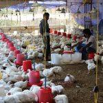 काठमाडौंको तारकेश्वरमा फेरि बर्डफ्लु रोग पुष्टी