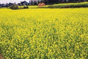 कैलालीमा तोरीको उत्पादन बढ्योः किसानमा खुशीयाली