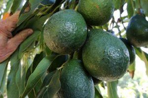 पाखो तथा खेती गर्न नसकिने जमीनमा व्यावसायिक घीउ फल खेति