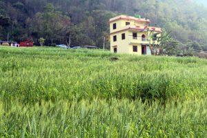 सुदूरपश्चिममा मुख्य बालीको उत्पादकत्वमा वृद्धि हुँदा किसान हर्षित