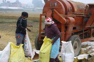 चाँगुनारायण नगरपालिकाका किसान गहुँ भित्र्याउँदै (फोटो फिचर)