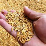 समयमा धानको बीउ नपाउँदा अन्नको सङ्कट बढ्ने किसानको चिन्ता