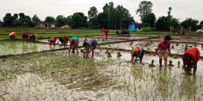 धान रोपाइँ गर्दै किसान (फोटो फिचर)