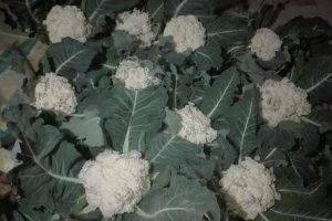व्यावसायिक खेतीका लागि राखिएको काउली ब्याडमै फुल्दा किसान चिन्तित