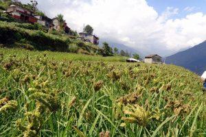 म्याग्दीका ग्रामीण भेगमा लोप हुँदै कोदो खेती
