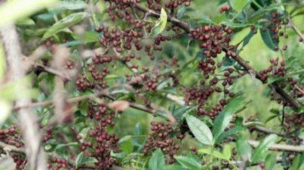 दाङमा फस्टाउँदै टिमुर खेती
