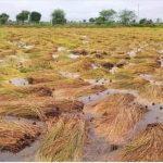 वर्षाले बागमती प्रदेशको धानबालीमा क्षति