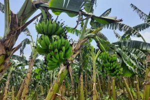 भारतीय केराले नेपाली किसान मारमा, आयात नरोके केरा र सवारी साधन नियन्त्रणमा लिने केरा संघको चेतावनी !