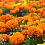 तिहारमा फूलको माग: ८० प्रतिशत फूल पोखरा आसपासमा नै उत्पादन